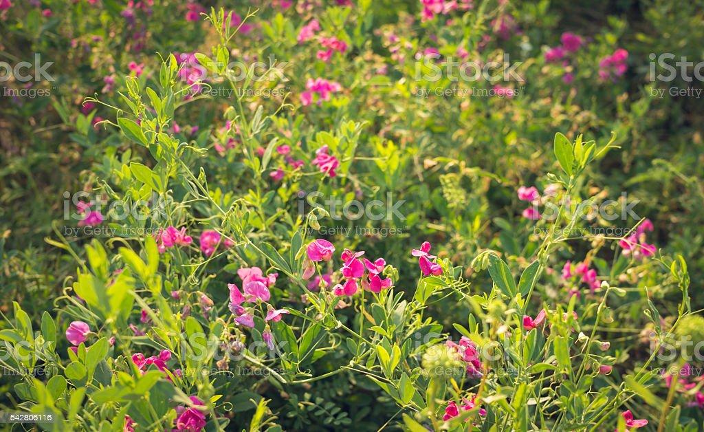Blooming summer meadow. Wild peas during flowering stock photo