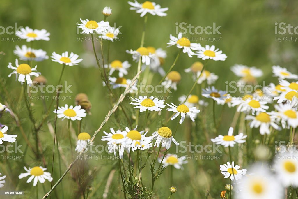 blooming summer meadow with camomile  Matricaria recutita royalty-free stock photo