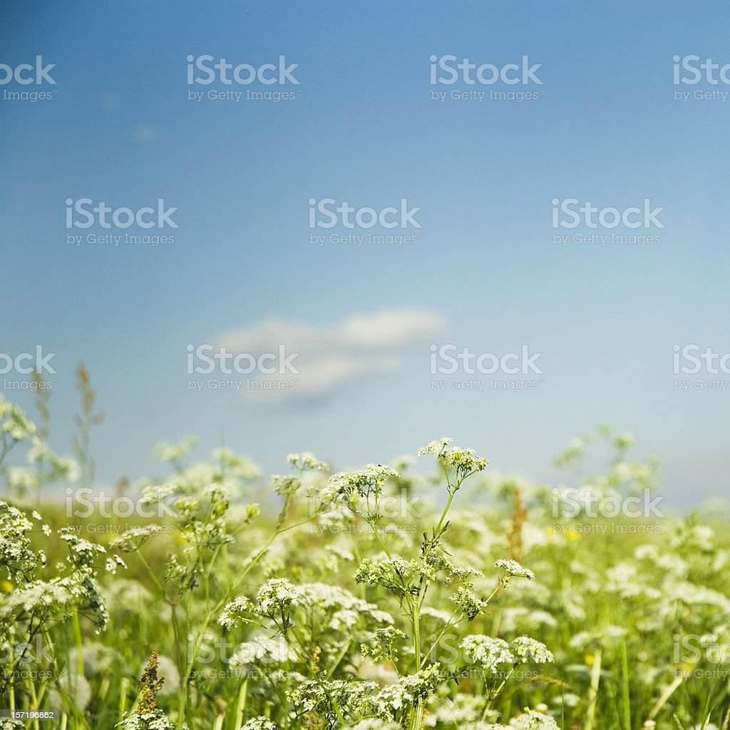 Blooming Summer royalty-free stock photo