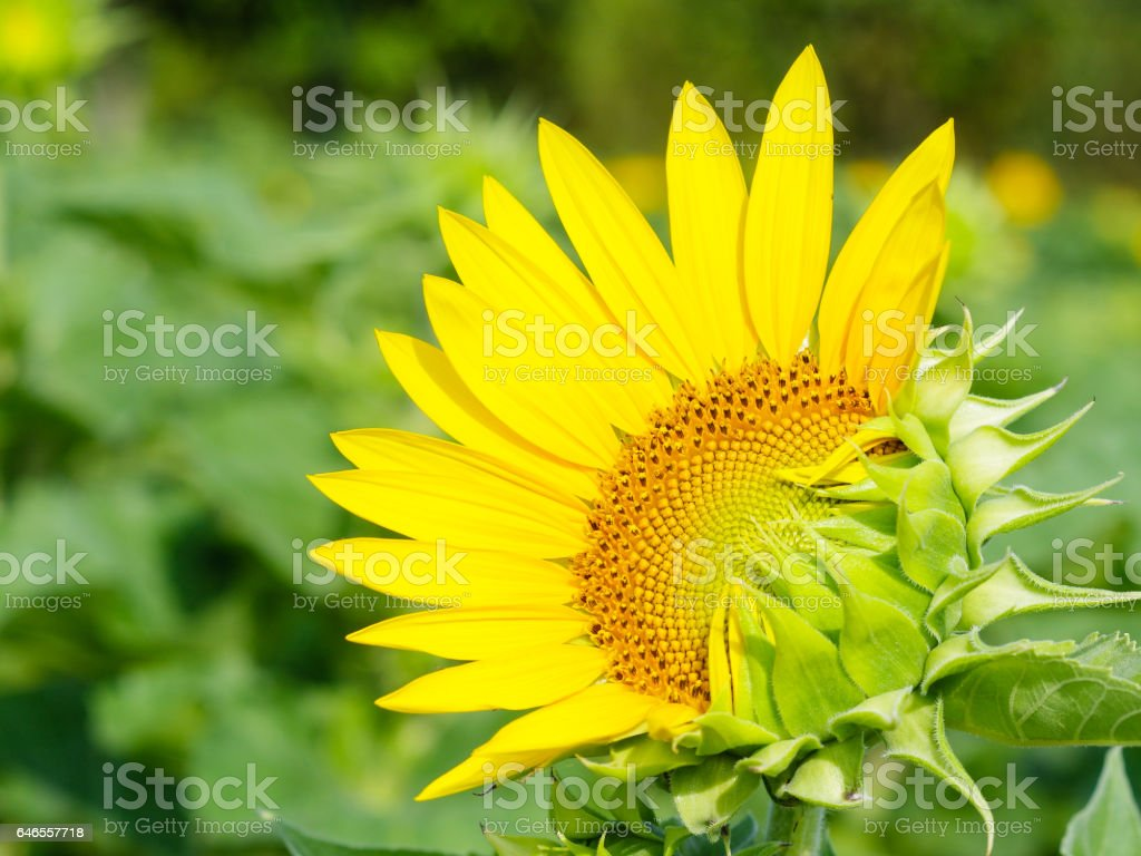 Blooming sunflower in nature daylight stock photo