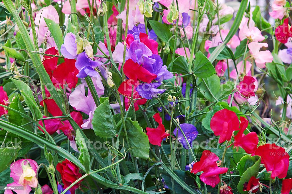 Blooming sweet peas stock photo