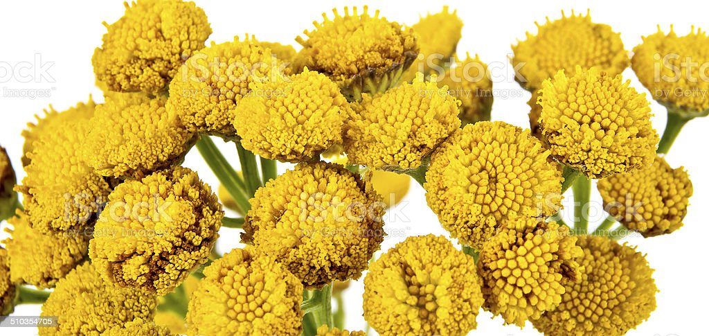 Blooming Tanacetum stock photo