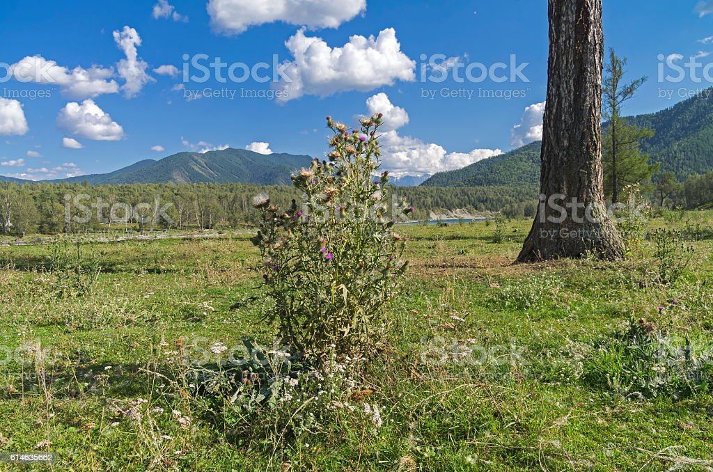 Blooming thistle bush. Altai,  Russia. stock photo