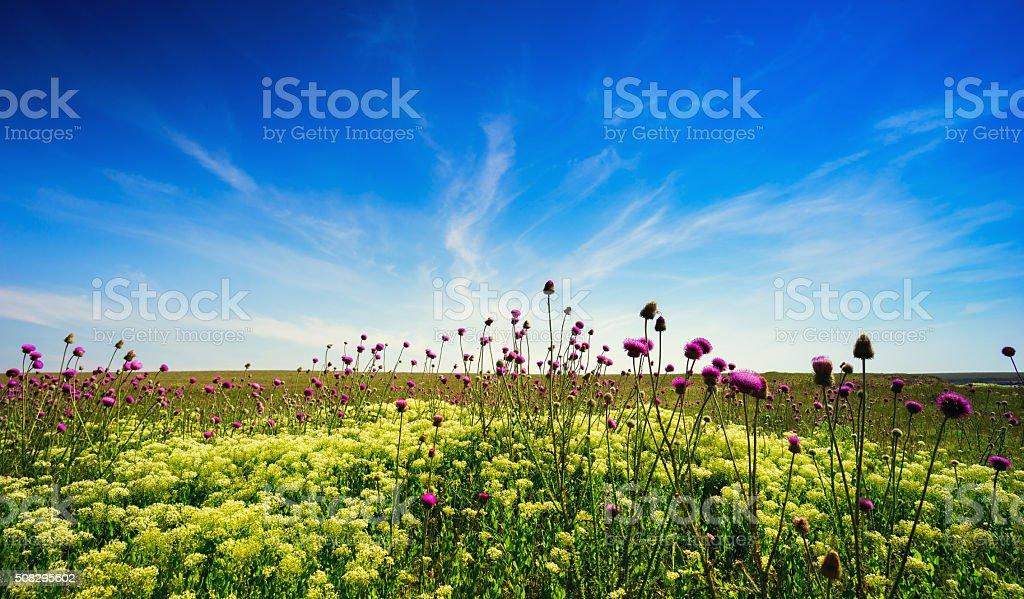 blooming Thistle in the field . Crimea , Tarhankut. stock photo