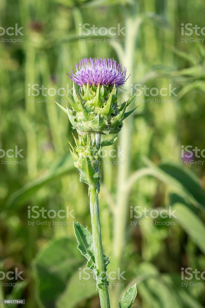 Blooming thistle on blurry background stock photo