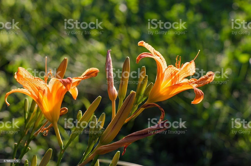 Blooming tiger lily on a summer day stock photo