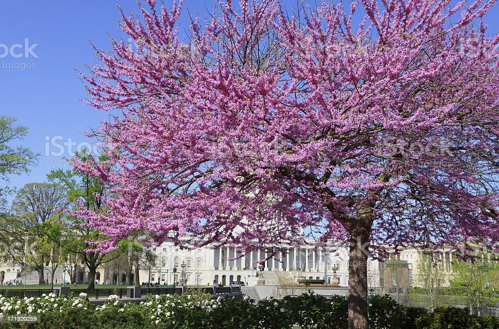 Blooming tree and Capitol Building, Washington DC. Clear blue sky. royalty-free stock photo