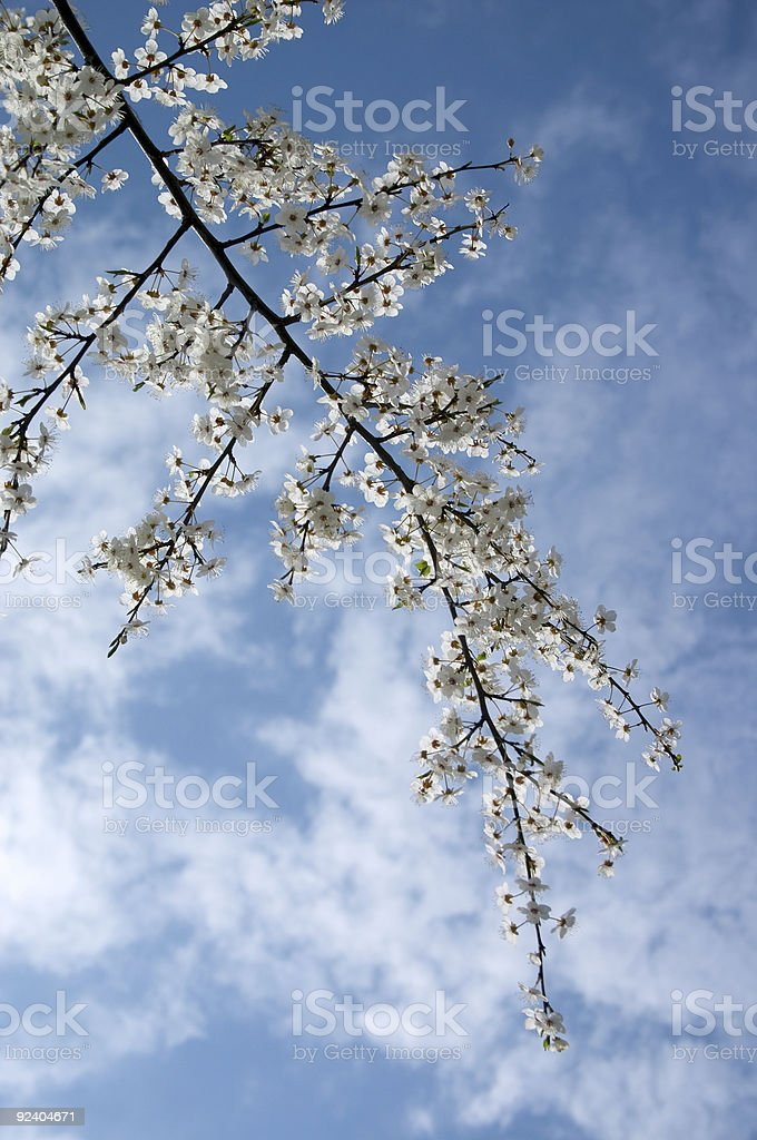 Blooming tree branch royalty-free stock photo