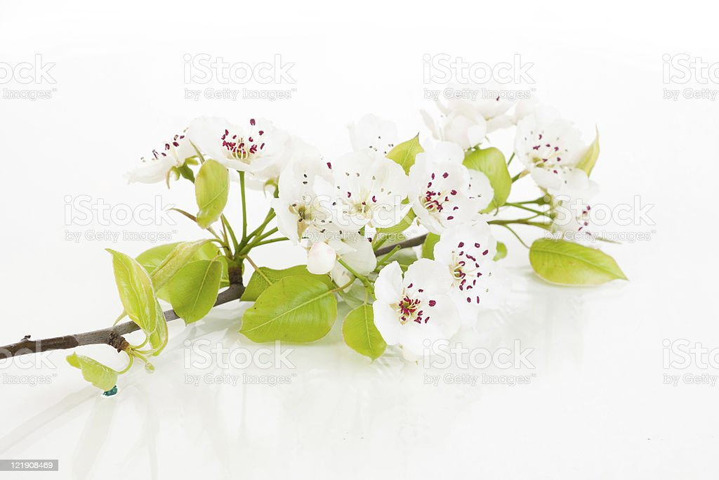 Blooming tree in spring isolated on white royalty-free stock photo