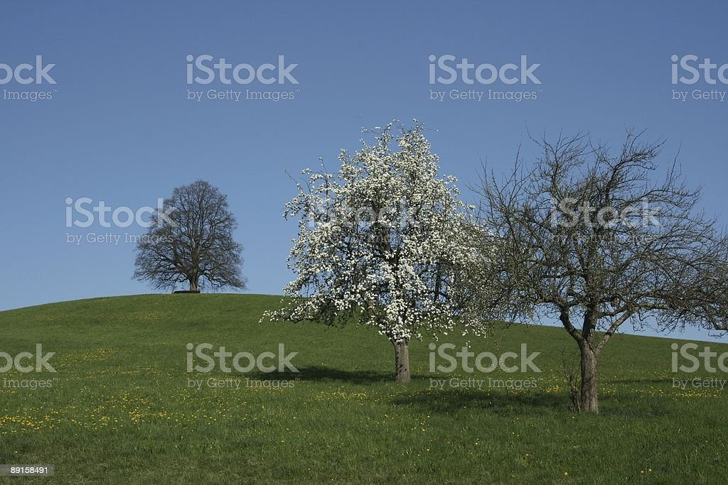 Blooming Tree in Spring royalty-free stock photo