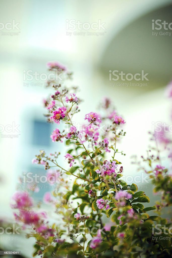Blooming Tree in Venice, Italy royalty-free stock photo