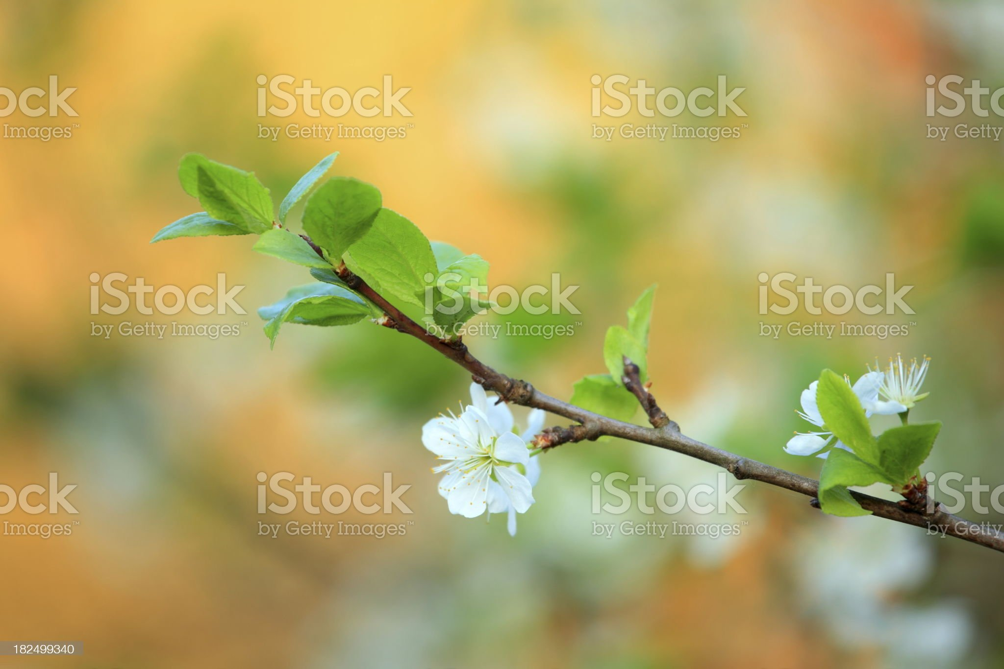 Blooming tree royalty-free stock photo
