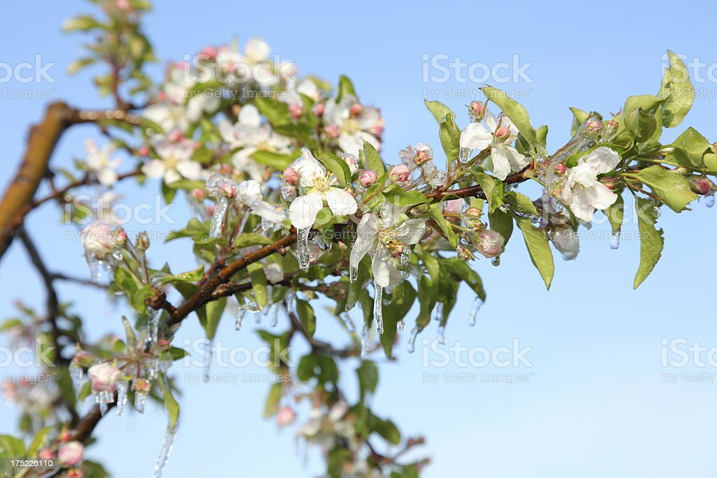 blooming tree with ice in spring royalty-free stock photo