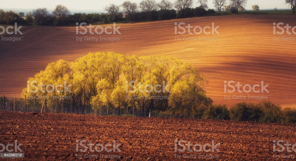 Blooming trees against fields at sunset in spring stock photo