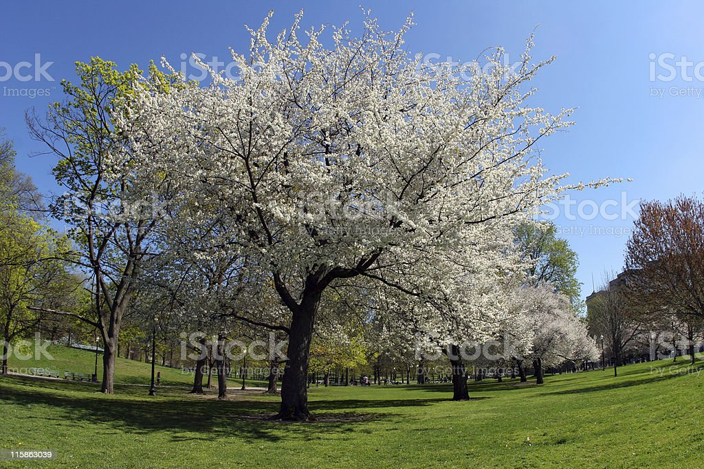 Blooming trees in the park royalty-free stock photo