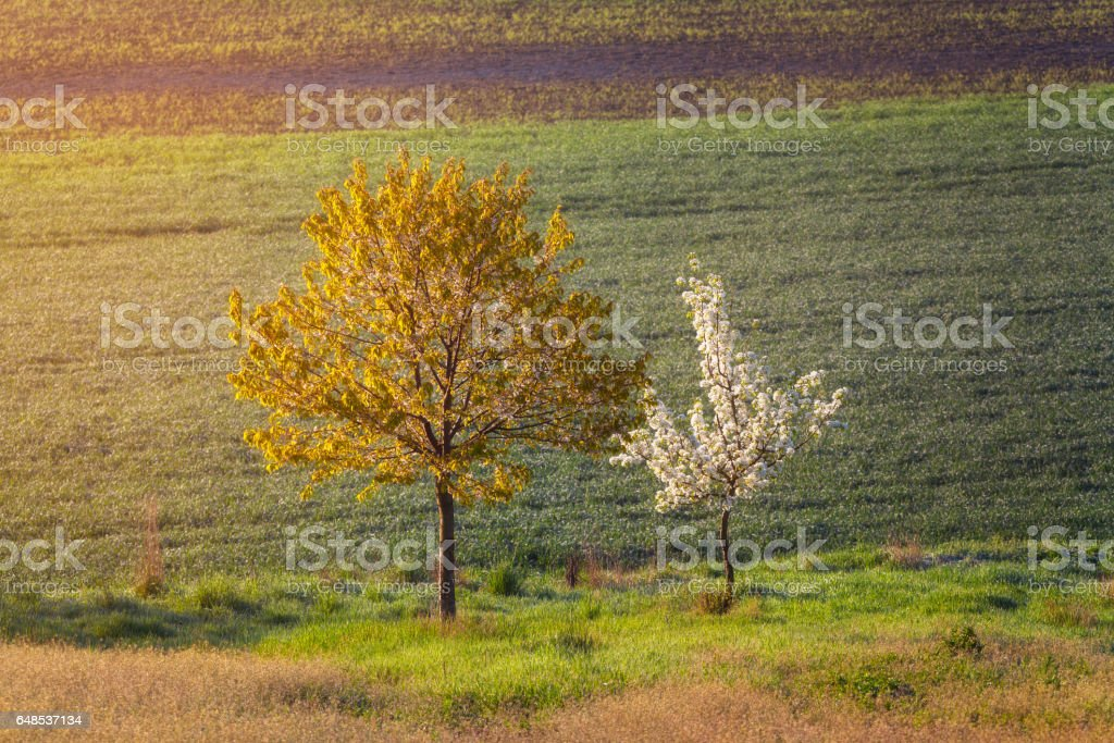 Blooming trees with flowers on the background of field at sunset. Spring landscape with woods, green grass and yellow sunlight. Natural background. Two trees on the meadow in the evening stock photo