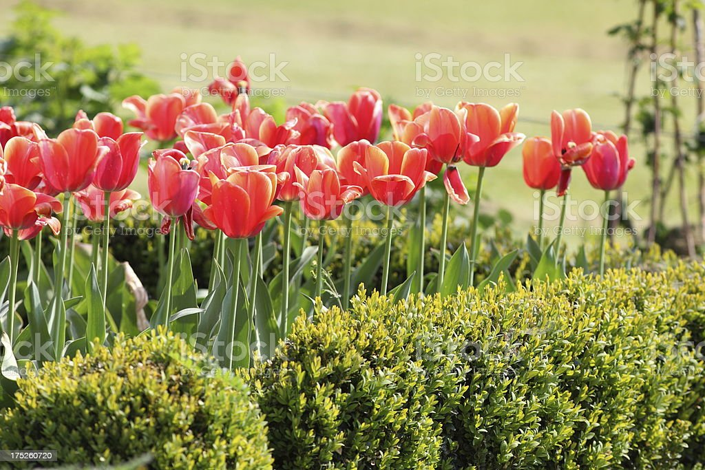 blooming tulip royalty-free stock photo