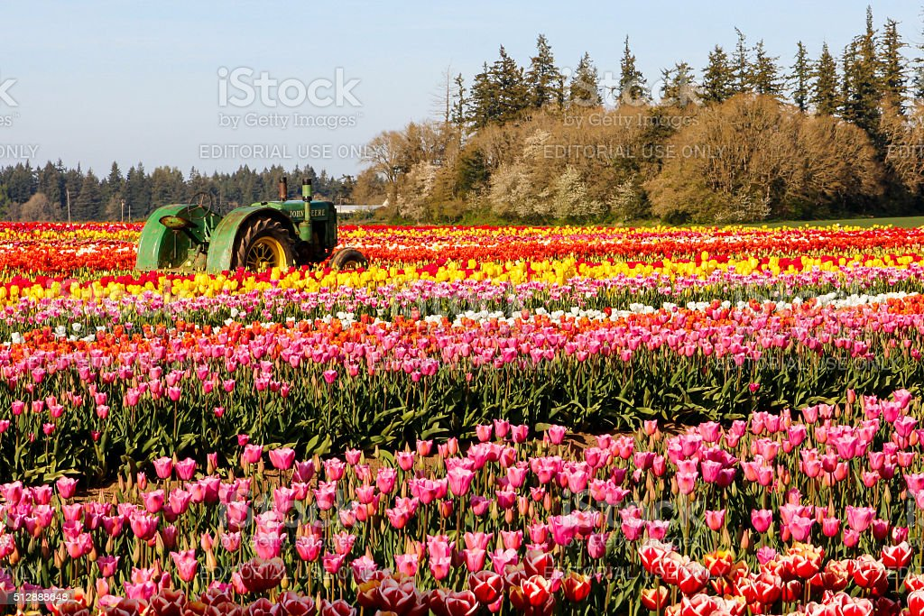 Blooming tulips field and a green tractor stock photo