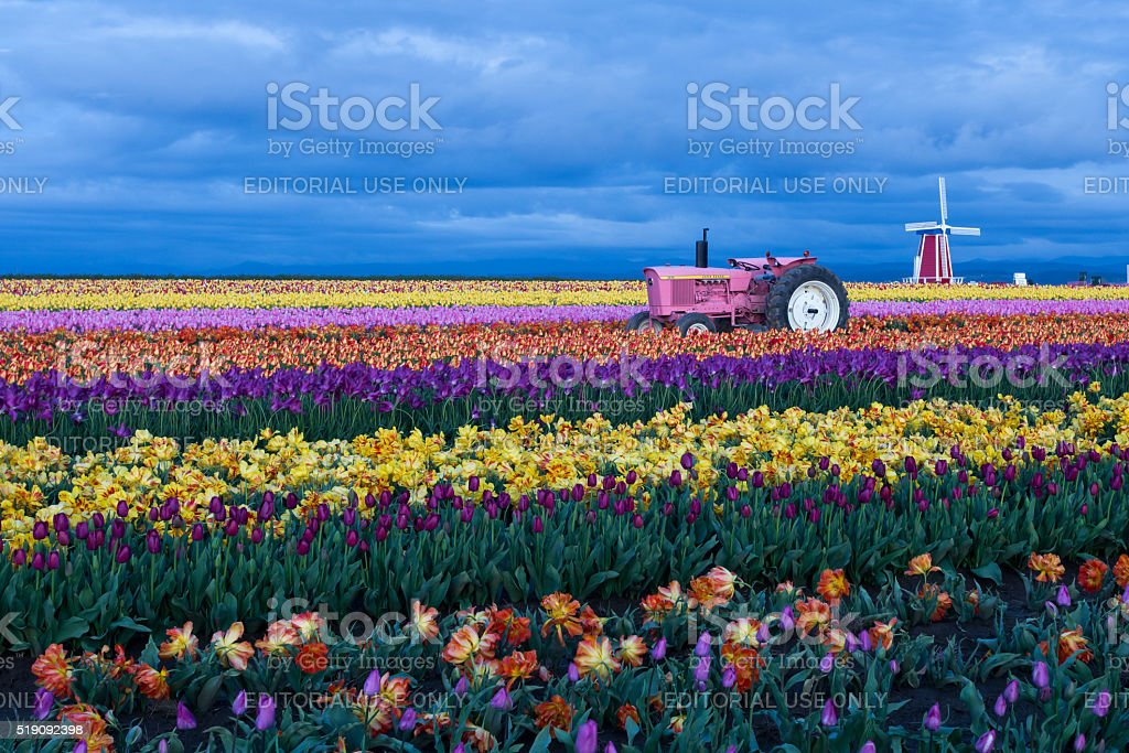 Blooming tulips field at dusk stock photo