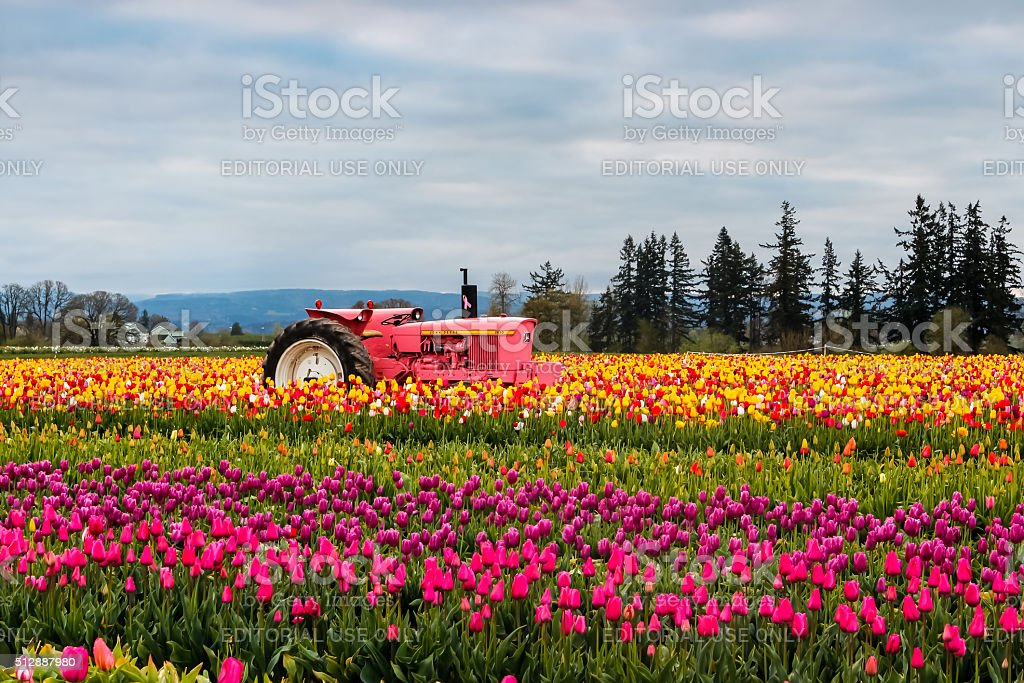 Blooming tulips field stock photo