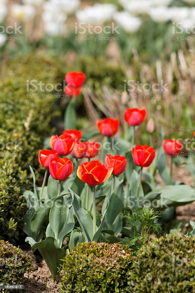 blooming  tulips royalty-free stock photo