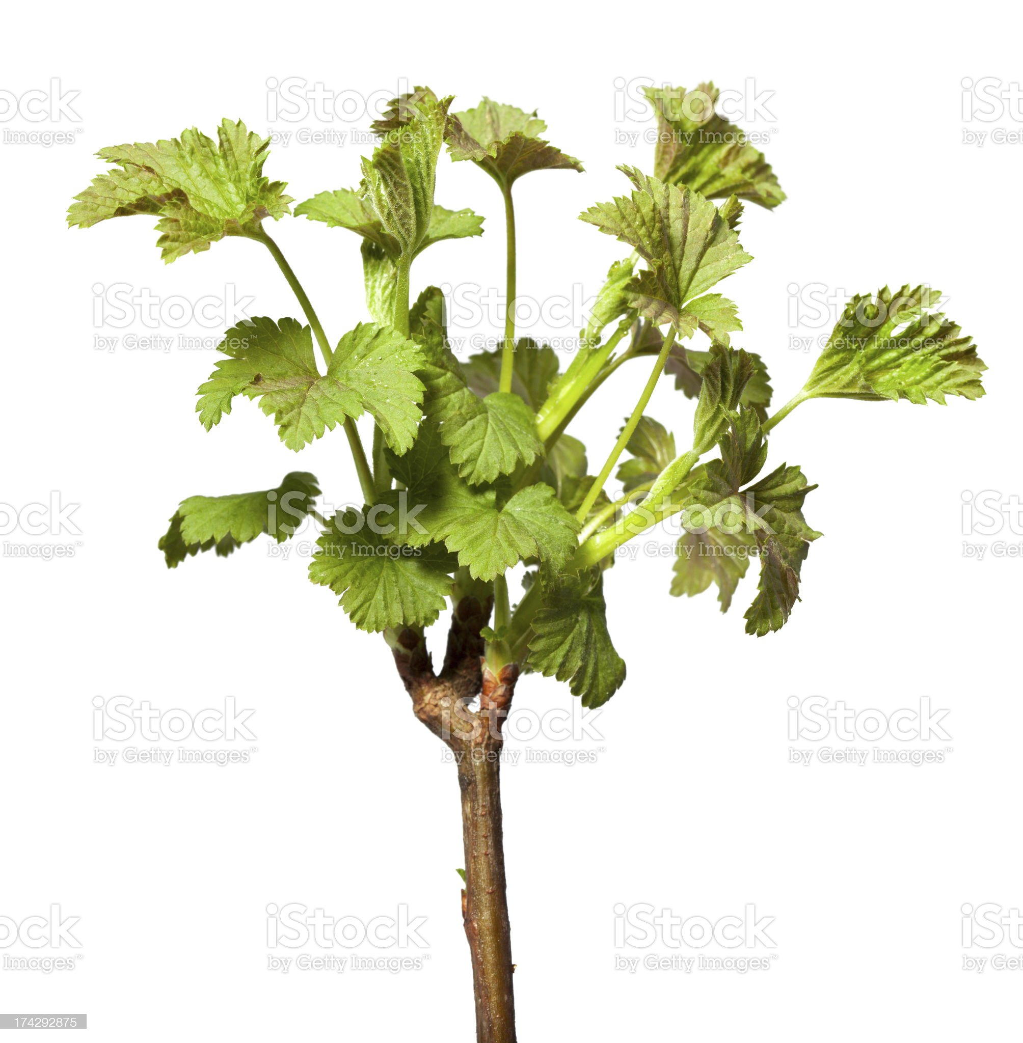 Blooming twig of blackcurrant royalty-free stock photo