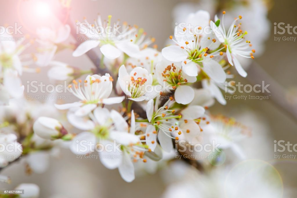 blooming twig of tree at spring stock photo