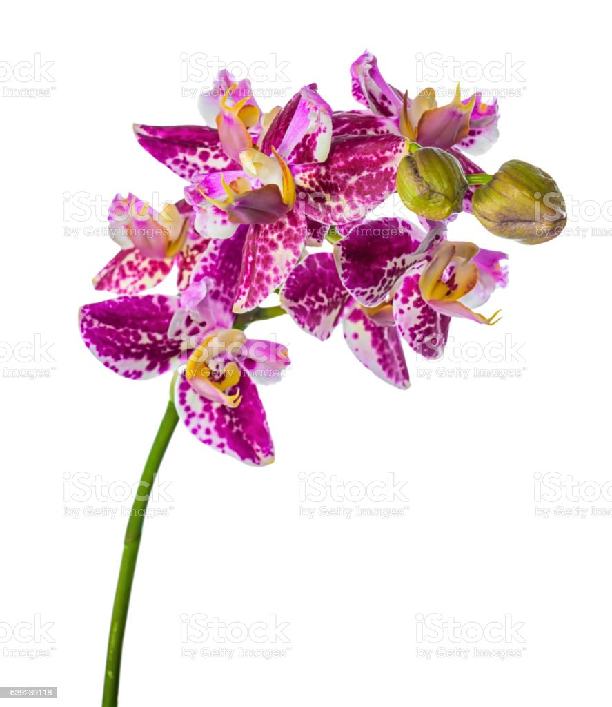 blooming unusual purple orchid, phalaenopsis is isolated stock photo