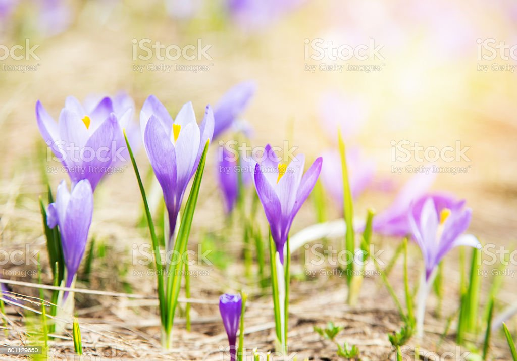 blooming violet crocuses, spring flower stock photo