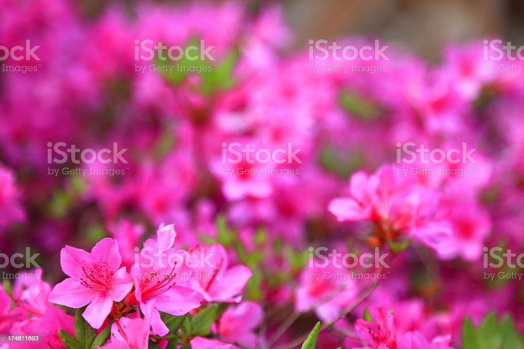 Blooming  Violet Rhododendron royalty-free stock photo