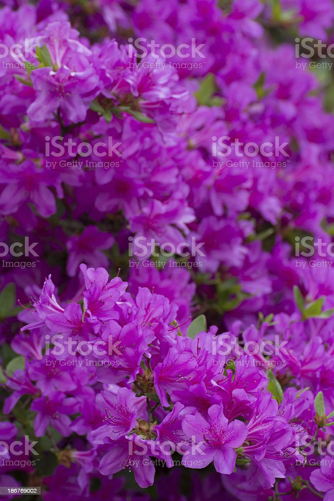 Blooming Violet Rhododendron - XXXL royalty-free stock photo