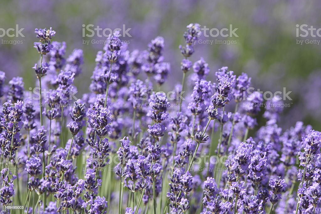 blooming violett lavender in garden royalty-free stock photo