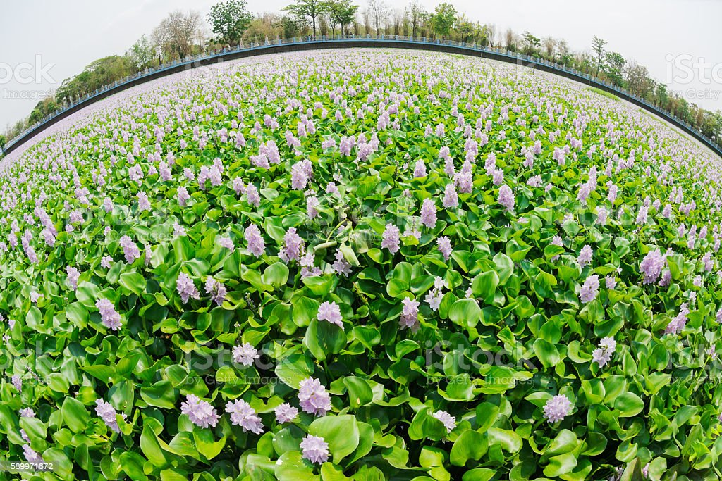blooming water hyacinth stock photo