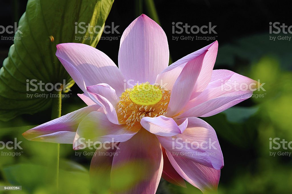 Blooming water lily royalty-free stock photo
