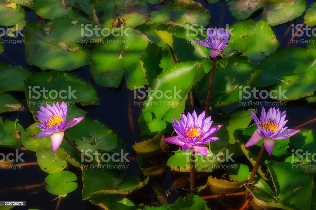 Blooming Water-lily flowers in a pond stock photo