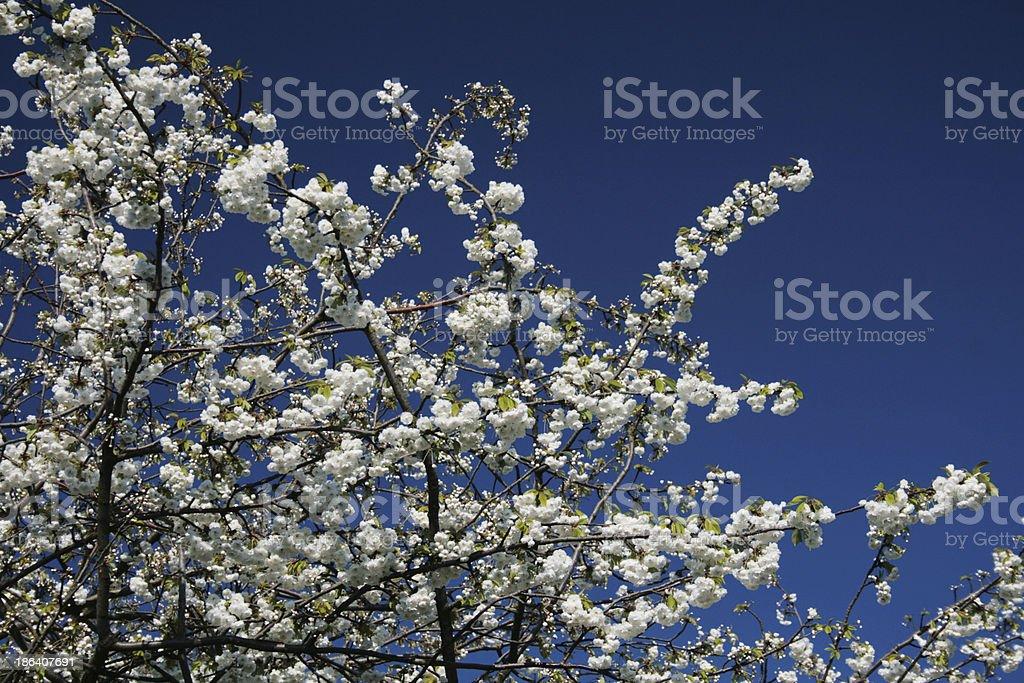 Fiore bianco Fiore di ciliegio e cielo azzurro foto stock royalty-free