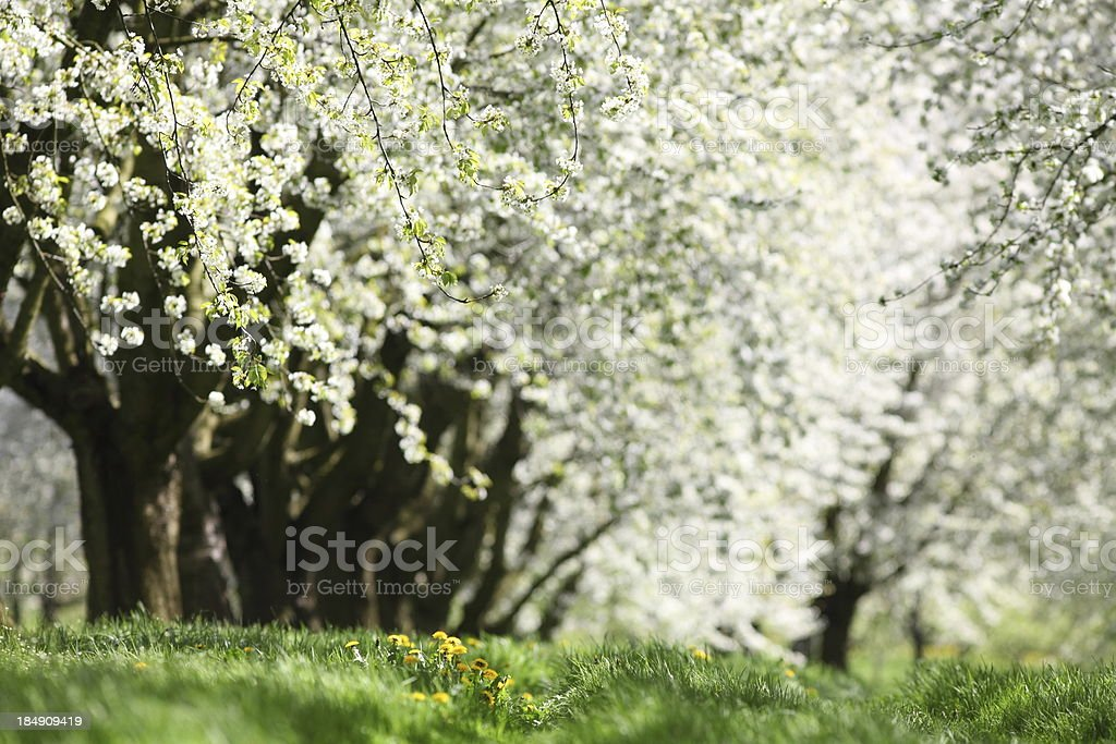 blooming white cherry tree and yeollw dandelion in spring royalty-free stock photo