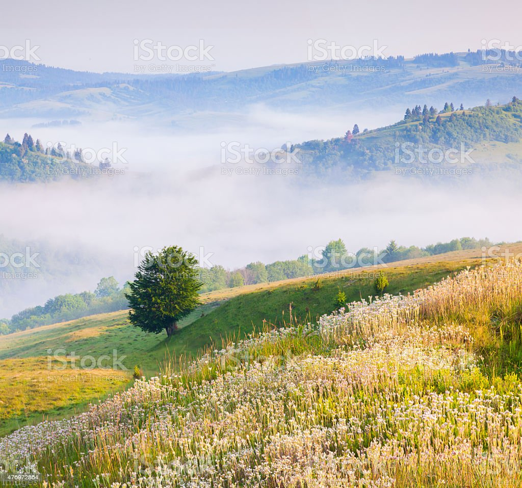 Blooming white flowers in the summer mountains. stock photo