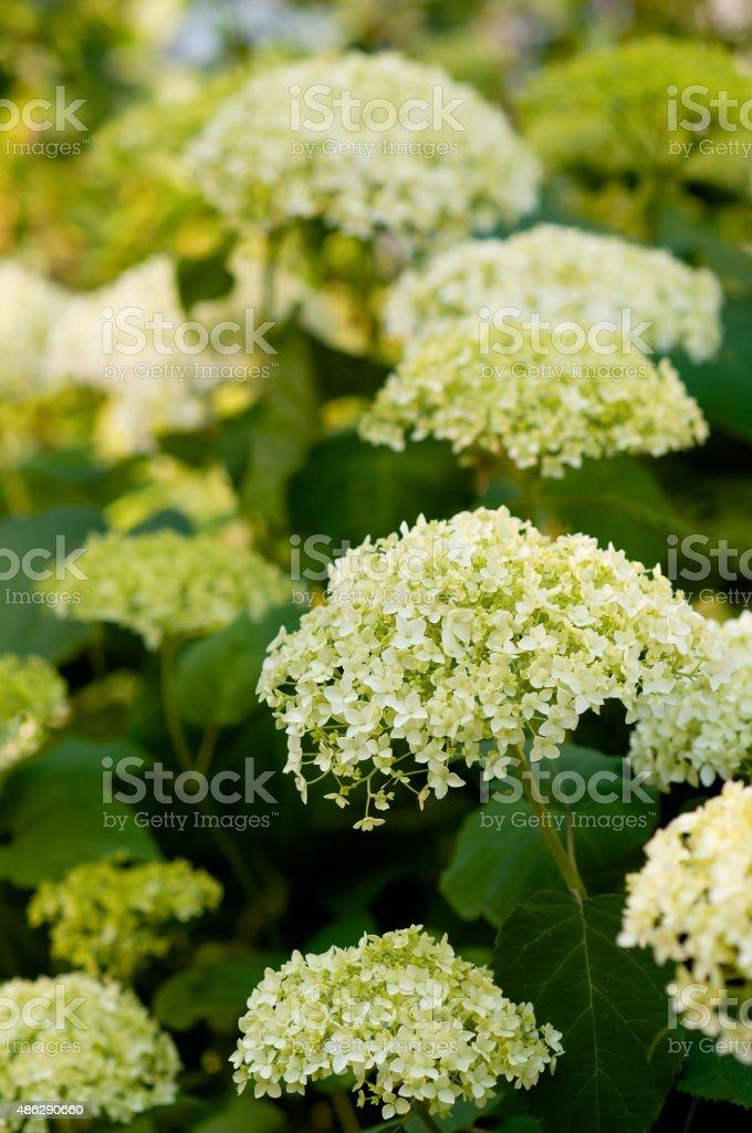 Blooming white Hortensia flowers. stock photo