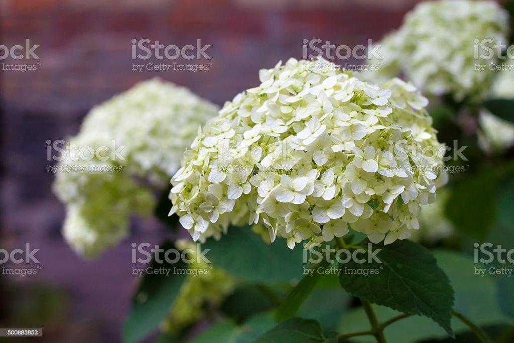 Blooming white Hortensia stock photo