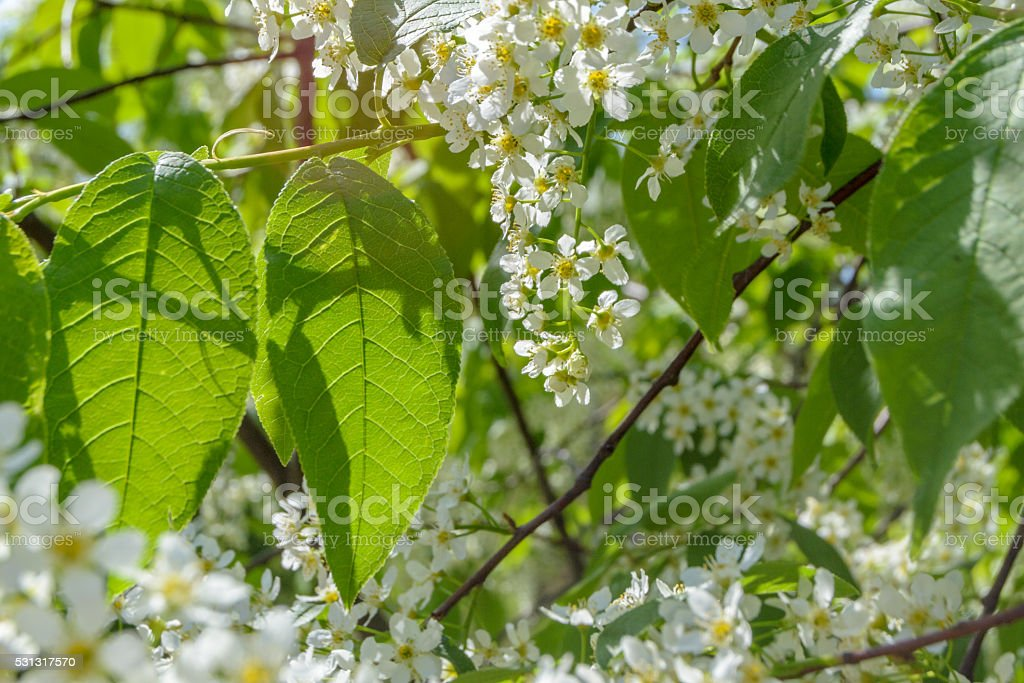 Blooming white lilac flowers. Abstract background stock photo