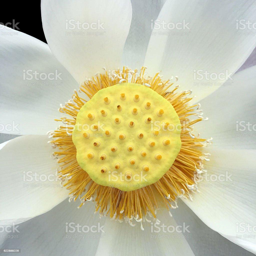 Blooming white lotus flower stock photo