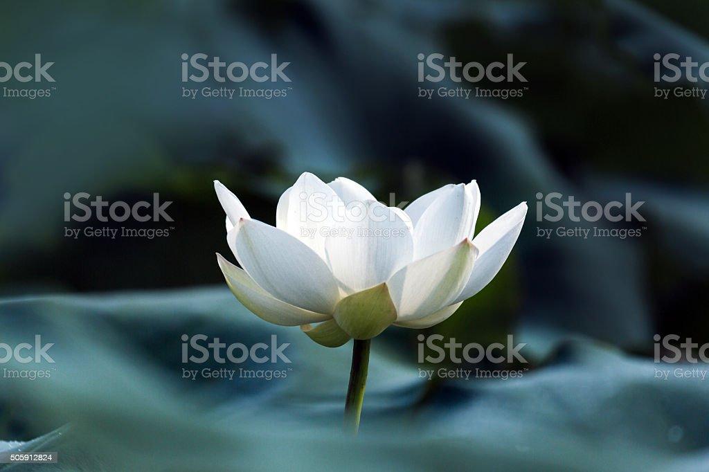 blooming white lotus stock photo