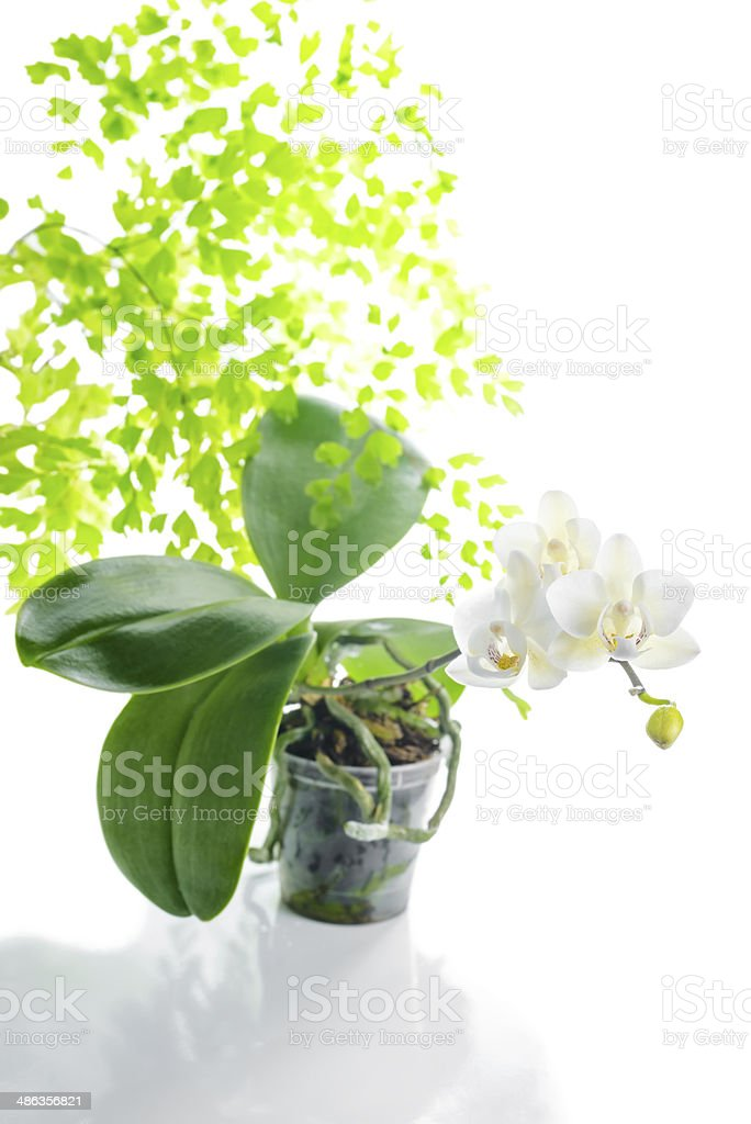 blooming white orchid in flowerpot with leaves fern,  isolated stock photo