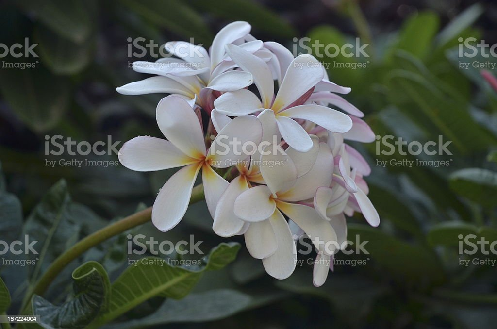 Blooming white, pink frangipani flowers on its tree royalty-free stock photo