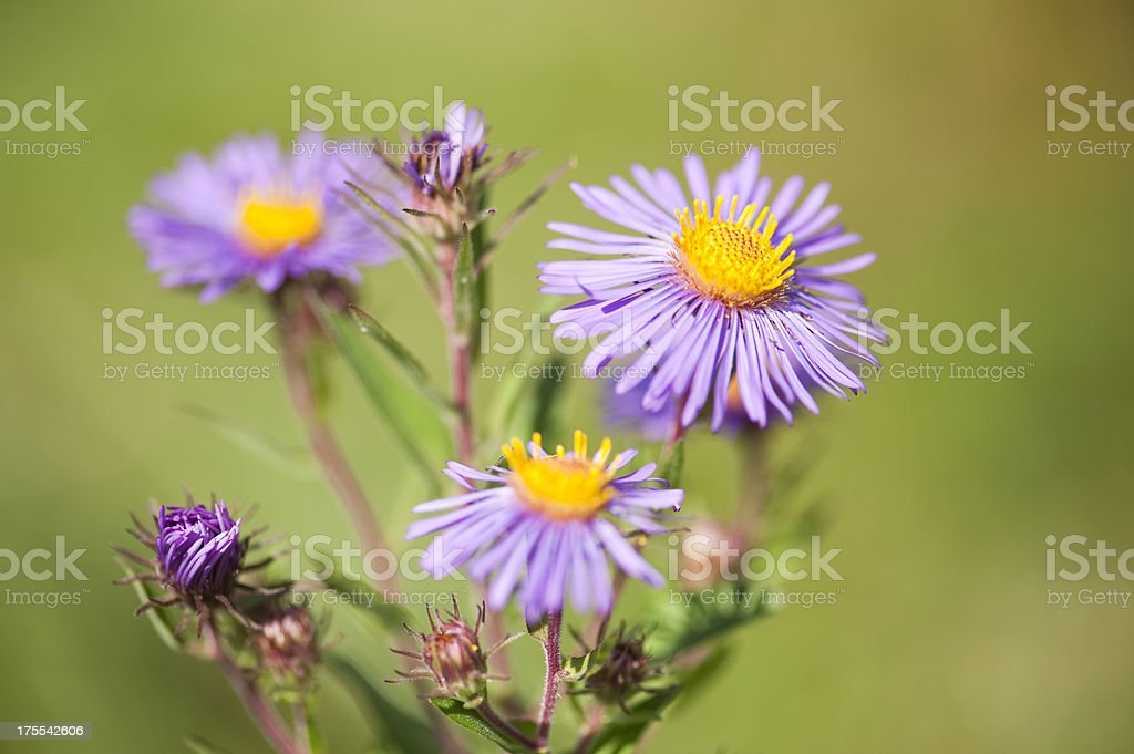 Blooming Wild Aster royalty-free stock photo