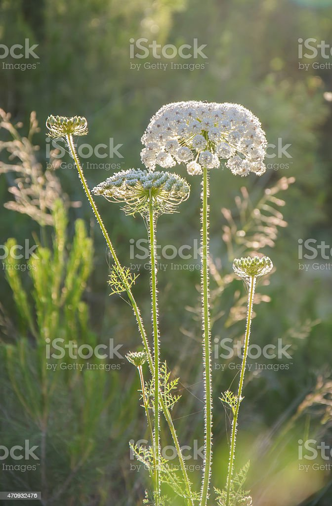 Blooming wild carrot flower stock photo