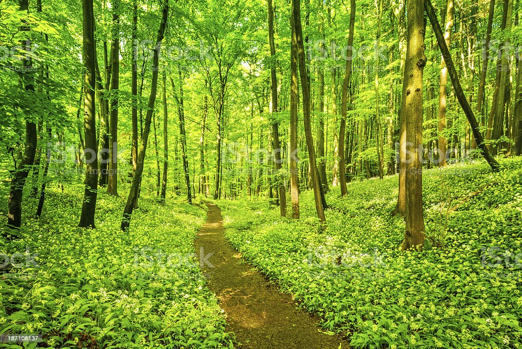 Blooming wild garlic in Beech Tree Forest royalty-free stock photo