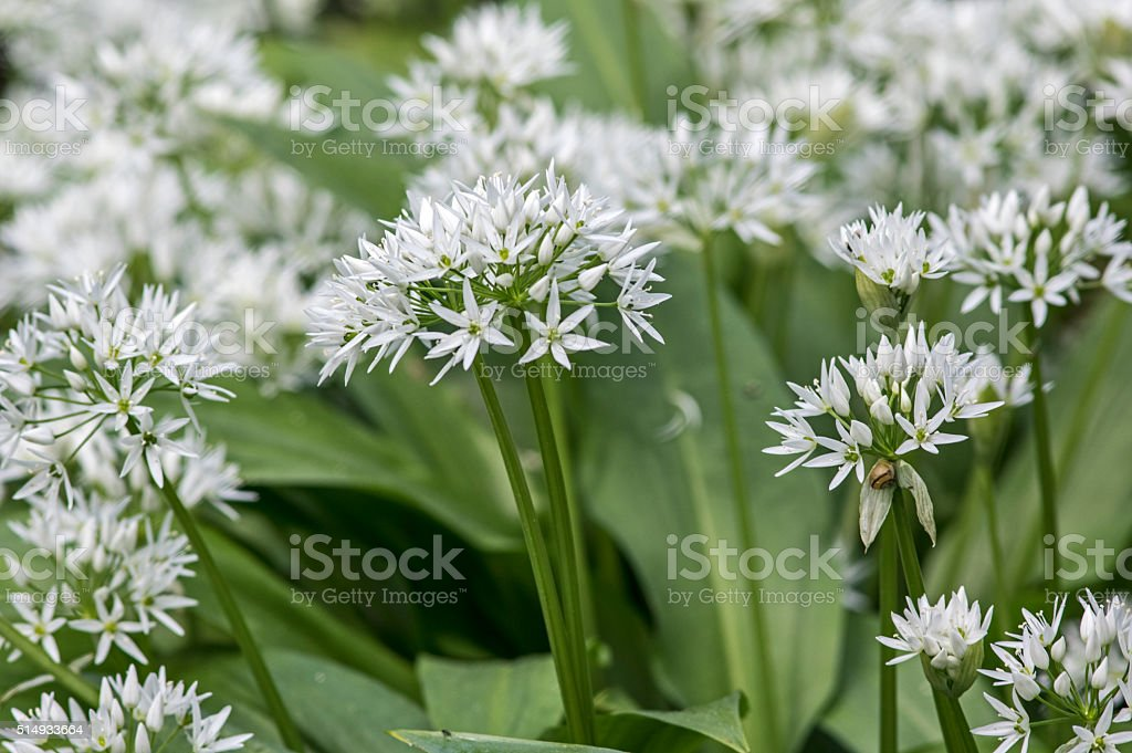 Blooming wild garlic stock photo