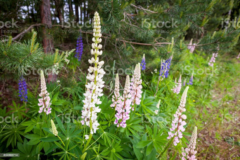 Blooming Wild Lupine flowers in a summer forest - Lupinus polyphyllus - garden or fodder plant. stock photo
